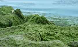 Creșterea temperaturii a dus la înflorirea mai îndelungată și mai intensă a algelor toxice