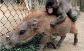 Cum arată primul animal hibrid porc-maimuță (FOTO)