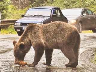 Incident bizar în Tennessee: maşina unei şoferiţe, distrusă de un urs (VIDEO)