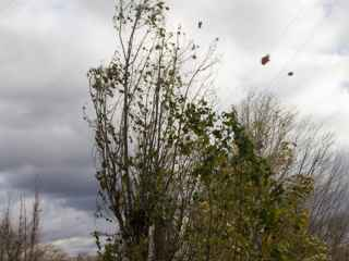 Copaci puși la pămînt în Transnistria (VIDEO)