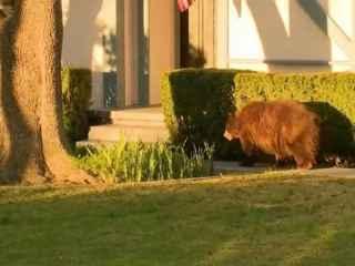 A hotărît să se plimbe: O ursoaică, văzută pe străzile din California