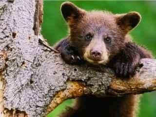 Un pui de urs a fost salvat după ce îşi blocase capul într-o sticlă de plastic (VIDEO)