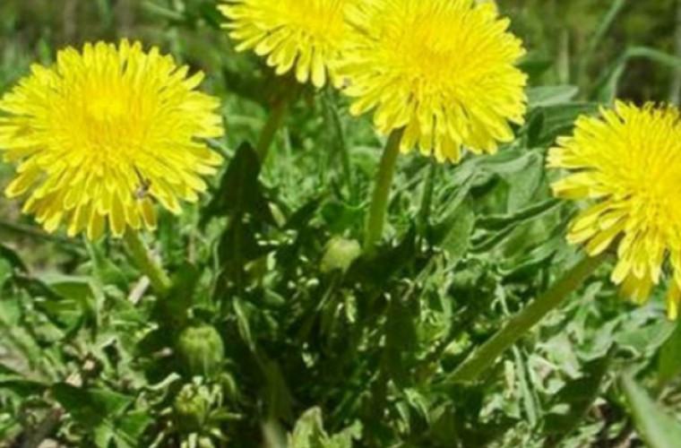 O rădăcină a acestei plante vă poate salva viaţa