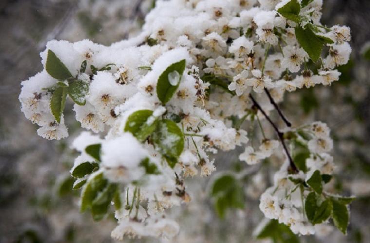 Recomandări privind protecţia plantelor afectate de ninsori