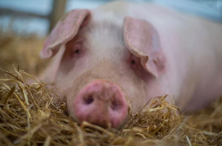 Porci uriași, cu mușchi anormali, crescuți la o fermă în Cambodgia (VIDEO)