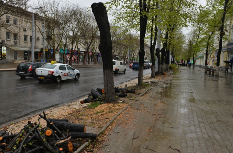 Tăierea arborilor în capitală: «obicei» la modă și bănos