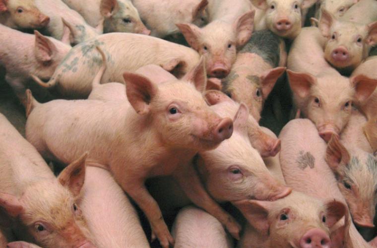 Pesta porcină dă înapoi în unele regiuni din Ucraina