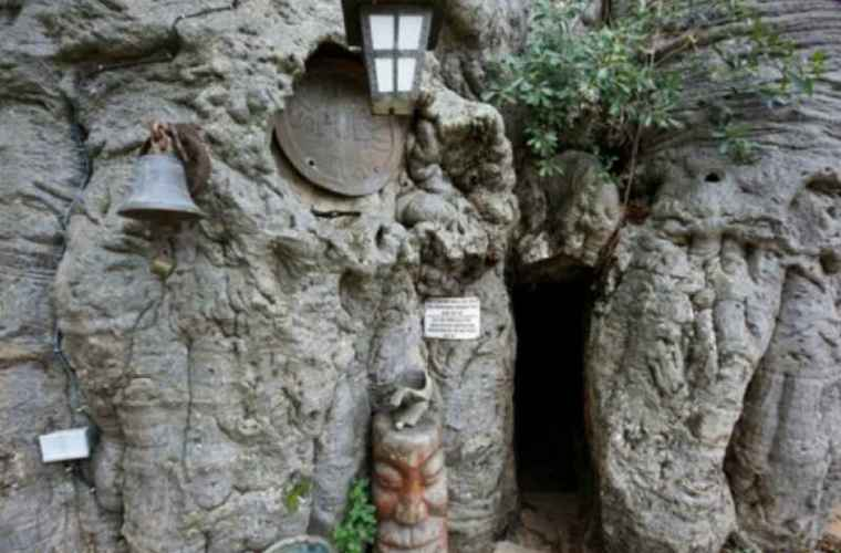 Într-un copac de 1000 de ani, trunchiul avea o uşă. Ireal ce au descoperit (FOTO)