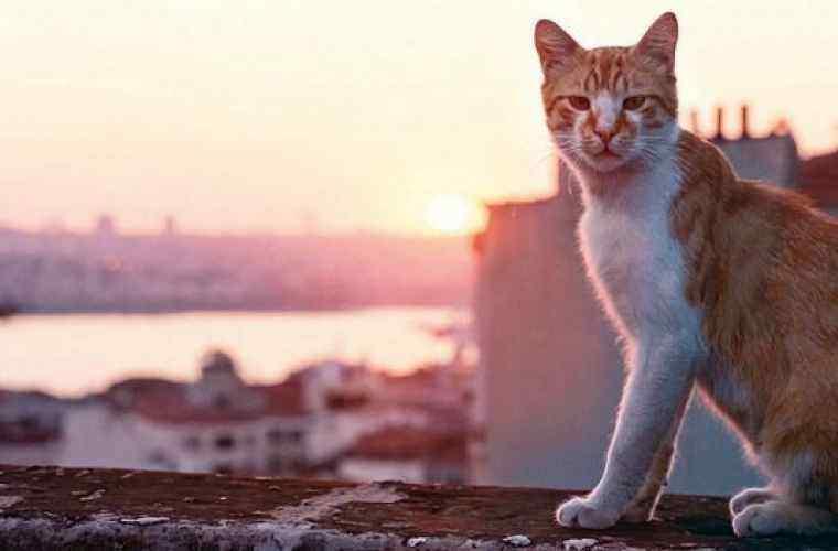 Un festival de film dedicat pisicilor se desfăşoară la Istanbul