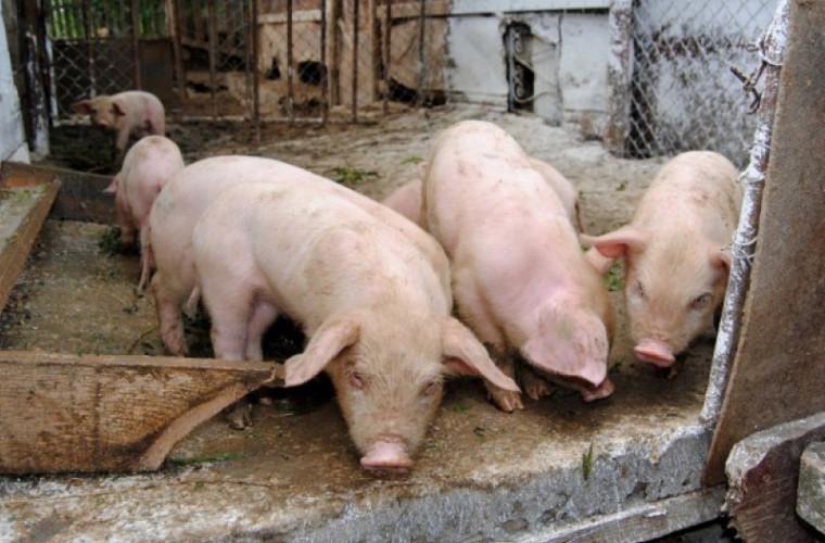Un nou focar de pestă porcină africană, depistat în raionul Căuşeni