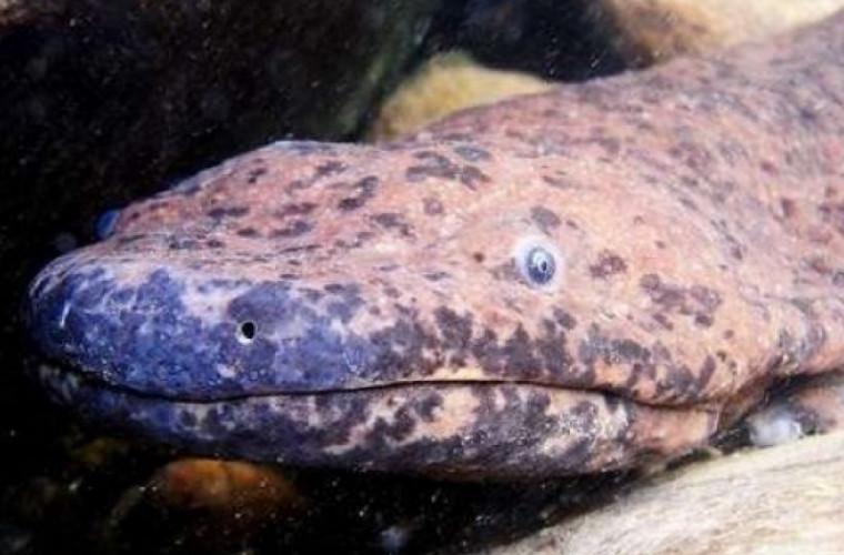 Cel mai mare amfibian de pe planetă, pe cale de dispariție