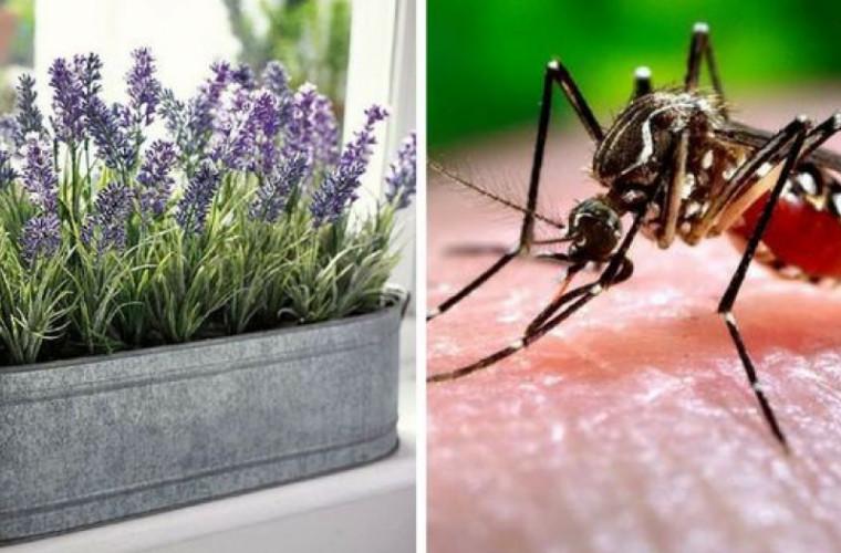 Plantele care țin țînțarii la distanță și miros grozav