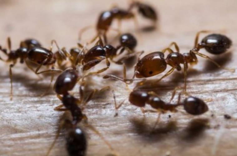 Cum scapi de furnici. Remediile naturale care dau rezultate imediat