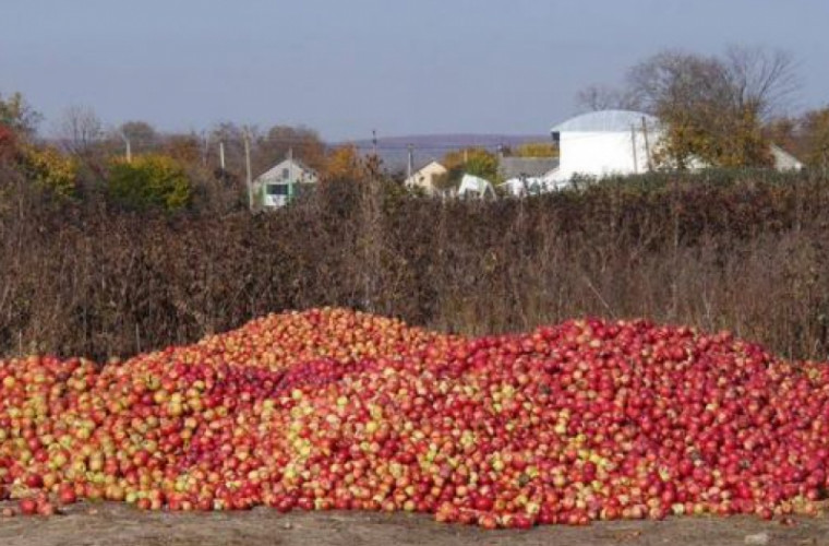 Тонны яблок гниют в молдавских садах