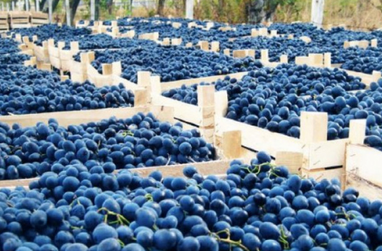 Cote de export doar pentru struguri şi prune, valorificate de Moldova în 2018