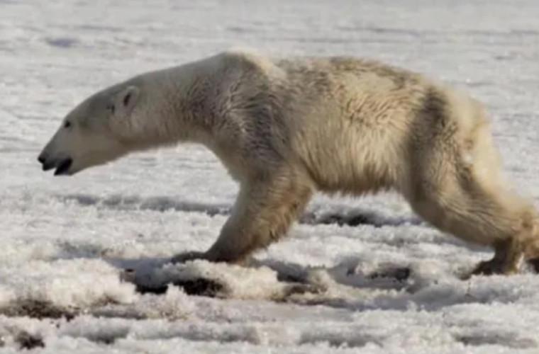 Istoria ursului care a călătorit peste 700 de kilometri