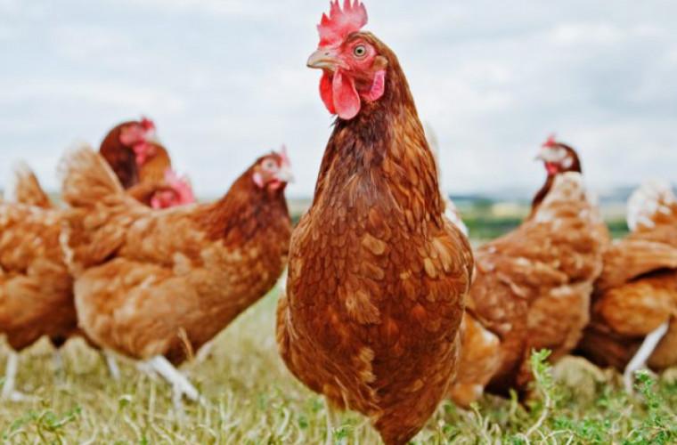 Cele mai productive rase de găini ouătoare