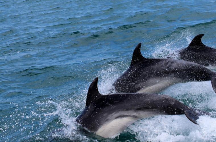 100 дельфинов сопровождали катер в Тихом океане (ВИДЕО)