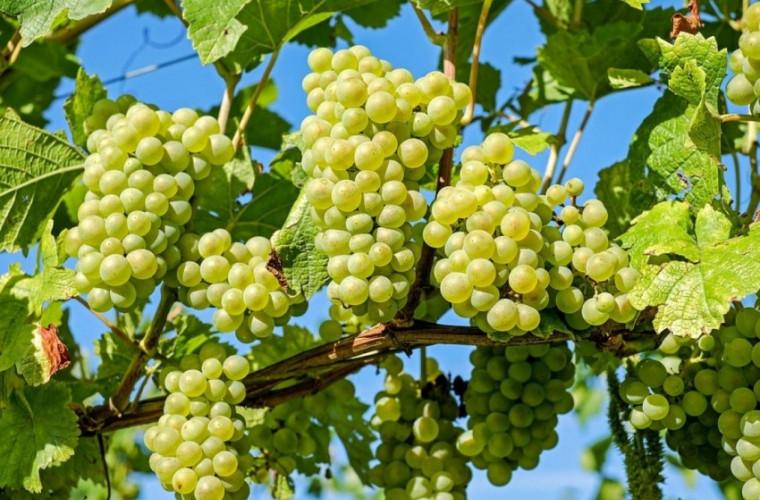 În Moldova începe recoltarea soiurilor timpurii de poamă