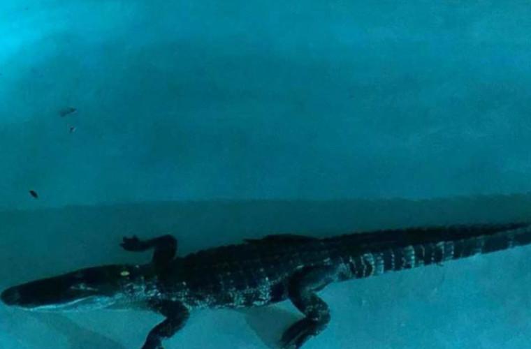 Crocodil de doi metri prins în piscina unei familii