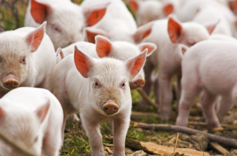63 de porci de la o fermă din raionul Cahul vor fi sacrificaţi