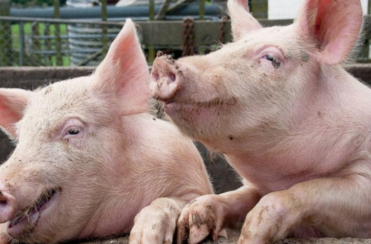 Problema răspîndirii pestei porcine, în atenția Poliției de frontieră