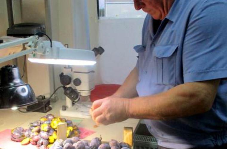 Rusia a interzis importul a încă peste 20 tone de prune din Moldova