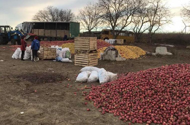 Grămezile de mere de la Dondușeni vor fi cumpărate de către o fabrică din Edineț