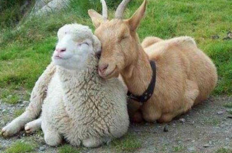 Самые редкие породы овец и коз были выставлены в Чимишлии