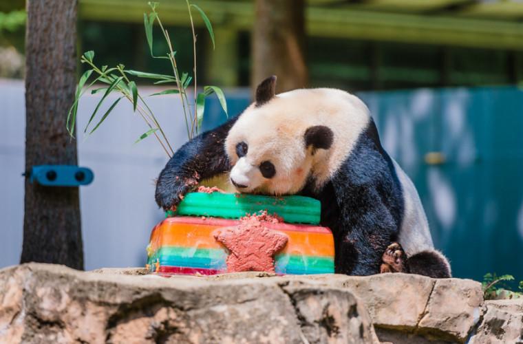 sua-vor-intoarce-chinei-ursul-panda-care-s-a-nascut-la-gradina-zoologica-din-washington