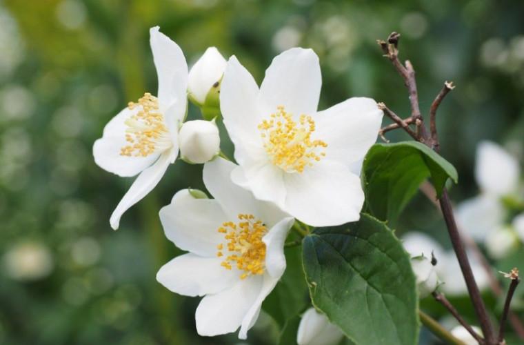 efectele-miraculoase-ale-ceaiului-de-iasomie