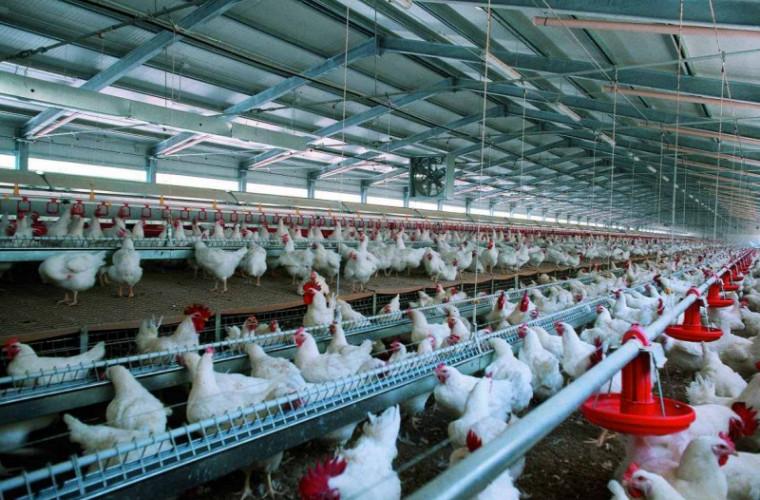 Probleme la fermele de păsări, din cauza epidemiei de coronavirus din China