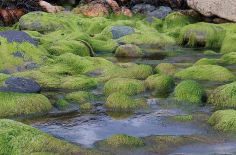 Au fost găsite alge vechi de un miliard de ani