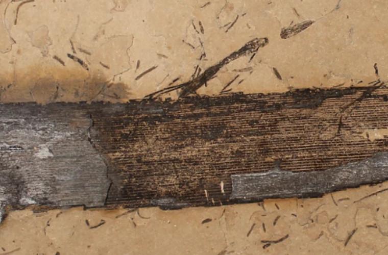 oamenii-de-stiinta-au-gasit-o-rasina-de-lemn-pietrificata-de-110-milioane-de-ani