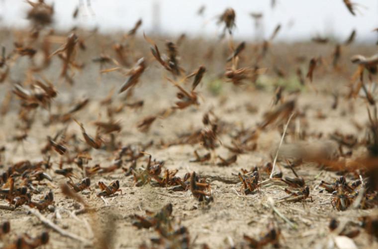 Lăcustele au invadat Africa și Asia: Pagubele sînt uriașe (VIDEO)