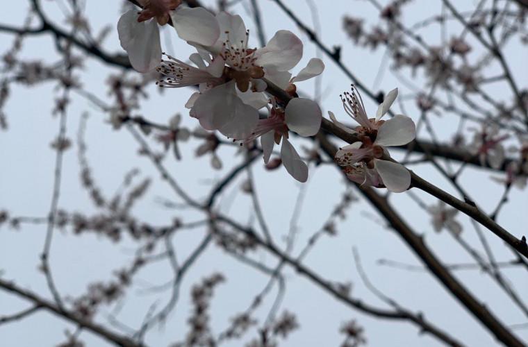 natura-uimeste-la-gradina-botanica-au-inflorit-abricosii-foto