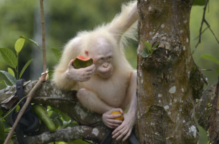 Ce s-a întîmplat cu singurul urangutan-albinos din lume
