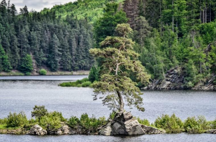 un-pin-de-350-de-ani-din-cehia-este-copacul-anului-in-europa