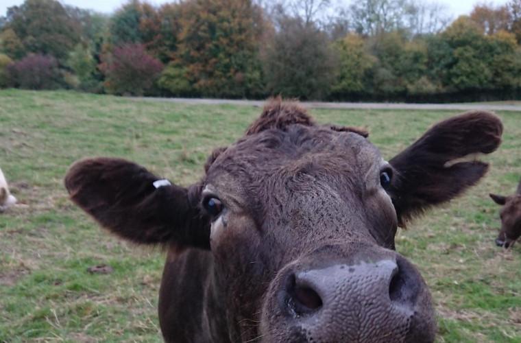 solutiile-antiparazitare-pentru-bovine-distrug-o-treime-din-gindacii-de-balegar