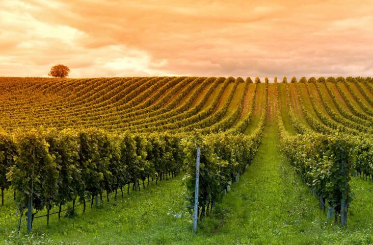 viticultorii-din-moldova-nu-recomanda-aminarea-sadirii-plantatiilor-noi