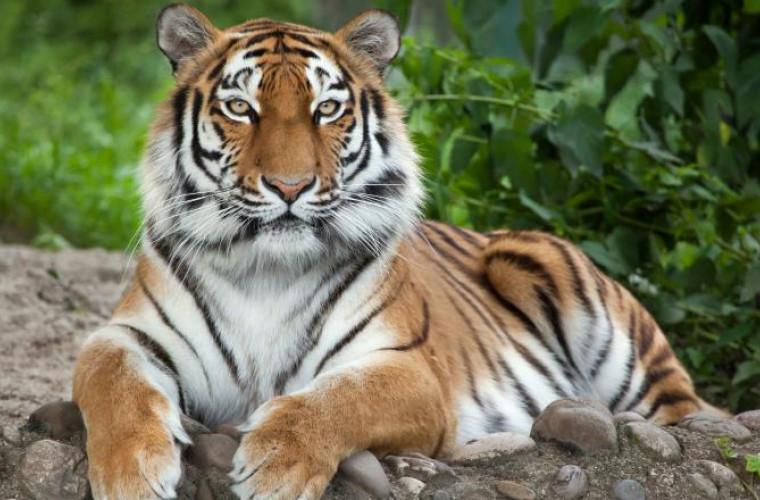 un-tigru-de-la-gradina-zoologica-din-new-york-a-fost-infectat-cu-covid-19