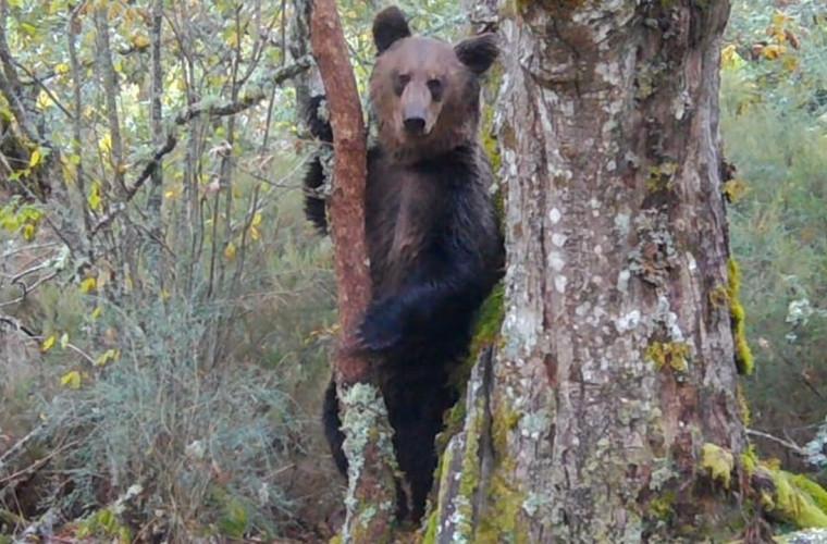 Un urs brun, surprins în nordul Spaniei, pentru prima dată în 150 de ani