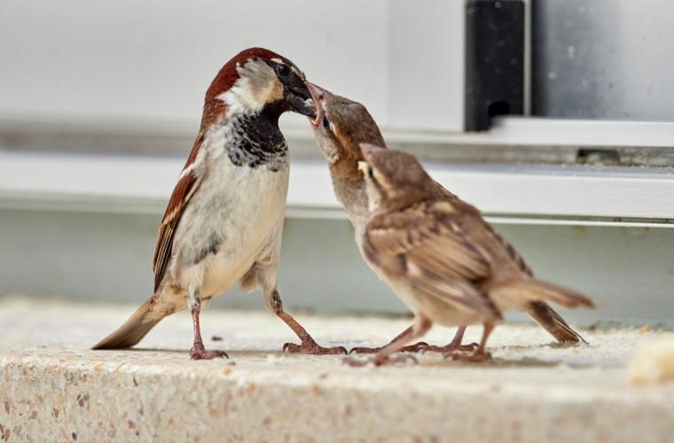 pasarile-mor-de-tinere-daca-traiesc-intr-un-mediu-agresiv-si-cu-multi-pradatori