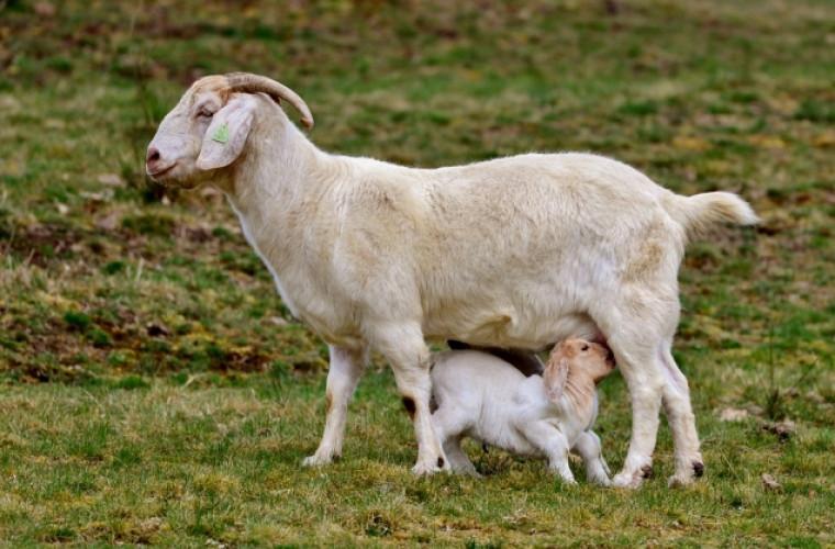 Ce diferenţe există, între laptele de capră şi cel de vacă şi care e cel mai sănătos