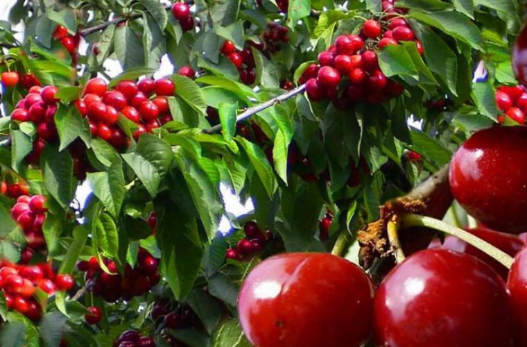 Prețurile angro la cireșe în Moldova vor scădea