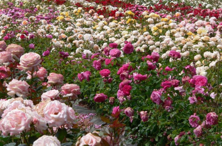 În nordul Moldovei, cîmpuri întregi de flori pier din cauza unei pandemiei