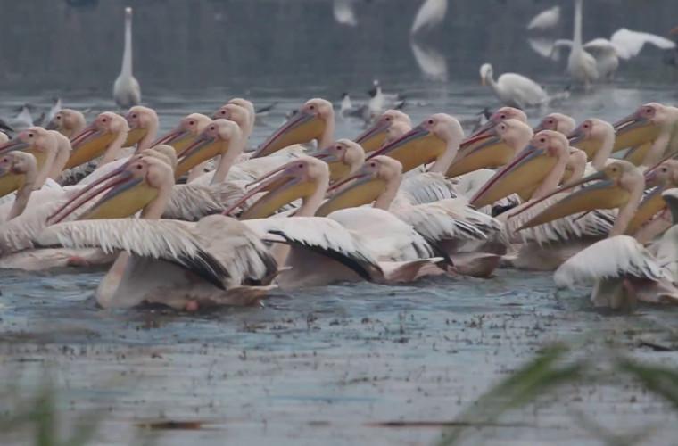 in-sudul-moldovei-au-fost-filmati-sute-de-pelicani-video