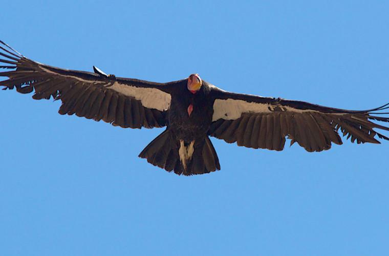 zborul-planificat-al-condorului-cinci-ore-fara-a-da-din-aripi-video