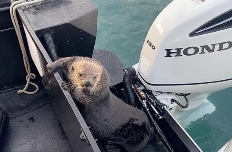 o-vidra-s-a-ascuns-de-balene-ucigase-pe-punta-barcii-video