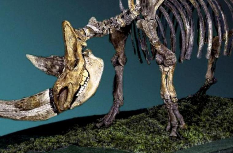 mumia-unui-ciine-din-epoca-de-gheata-contine-ramasitele-unuia-dintre-ultimii-rinoceri-linosi